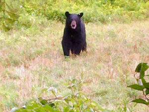 Black Bear Sited in Englishtown, N.J.